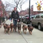 Un hombre camina por la calle con 6 perros. ¡Ahora observe lo que sucede cuando los suelta!
