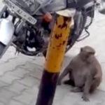 Un mono adicto a la gasolina tiene a motoristas en jaque en la India