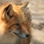 ¿Un animal 'enganchado' a la tecnología? Un zorro juega con un 'spinner' en un zoo ruso (VÍDEO)