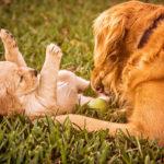 VIDEO: Un viejo perro labrador recibe un cachorro para Navidad y se desborda de alegría