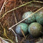 Las aves se comunican desde antes de eclosionar