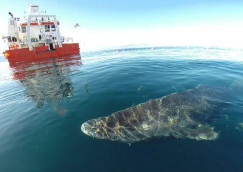 El tiburón de 400 años que aún vive
