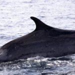 Una nueva especie de ballena es descubierta