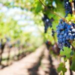 El sabor del vino cambiará por el cambio climático