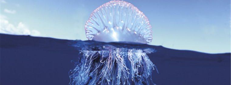 Una falsa medusa que engañaría a cualquiera