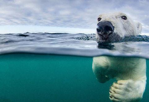 Oso polar hambriento caza ballenas beluga