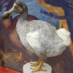 Los dodos, las aves extraordinarias