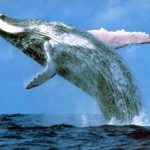 La ballena azul tiene dos latidos por minuto