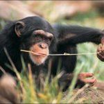 Chimpancés usan herramientas y enseñan a usarlas