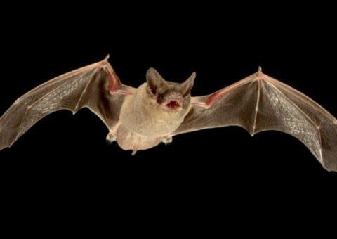 Los murciélagos son el origen de múltiples virus