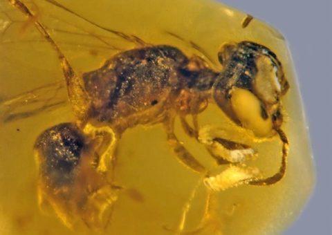 Abeja con polen de 100 millones de años
