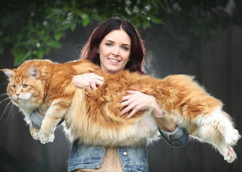 El gato más grande del mundo | Noticias Curiosas